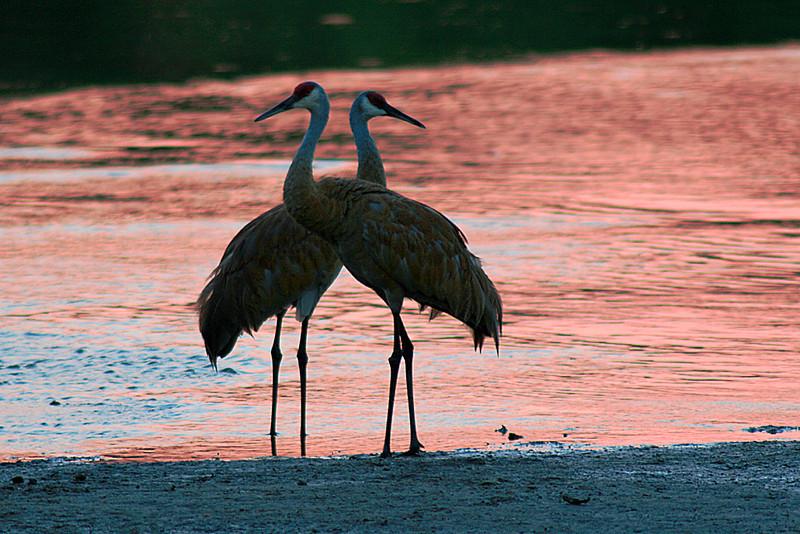 Sandhill cranes in western Kenosha county at sunset.