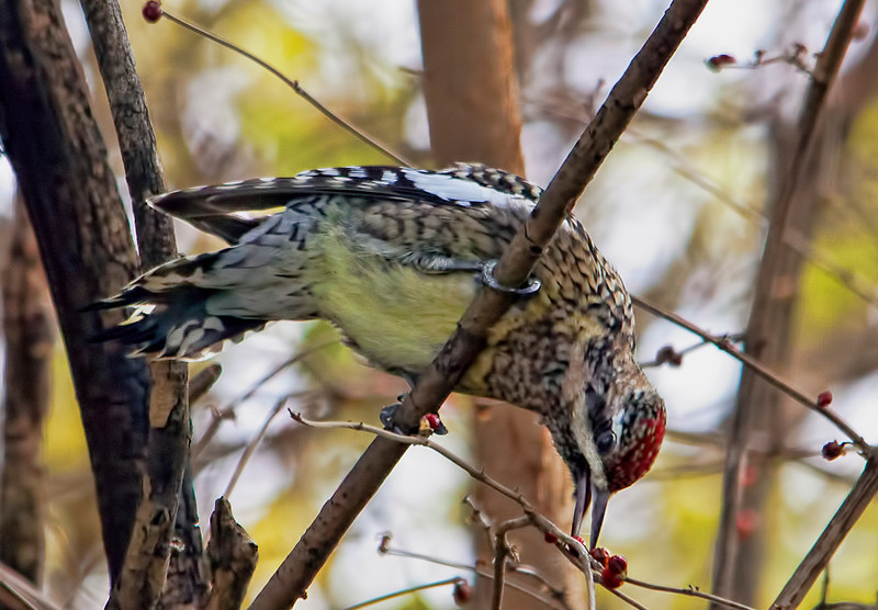 I am thrilled to have a yellow-bellied sapsucker in the creek behind my backyard. 11.30.12