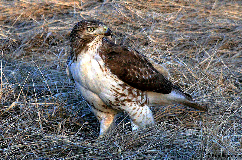 A hawk sits in the median of I180.