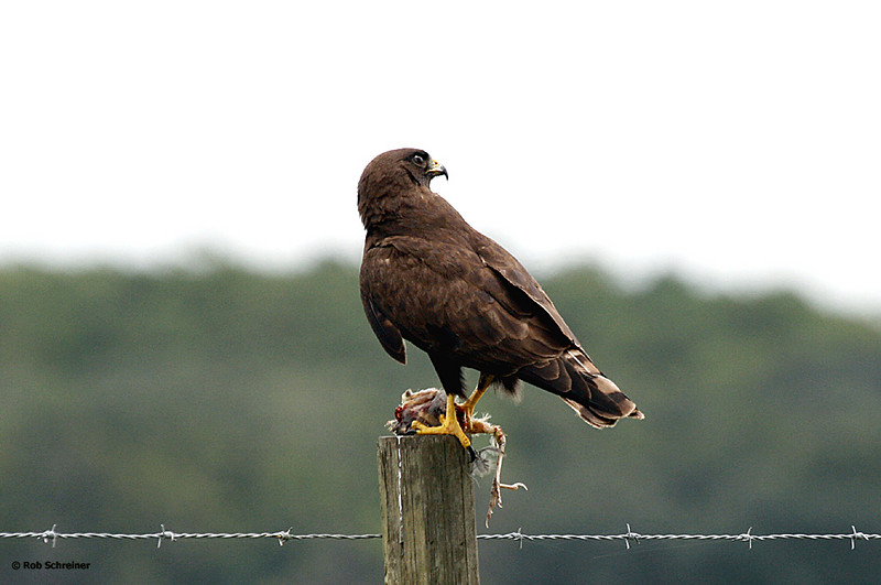 A golden eagle with supper in his tallons.
