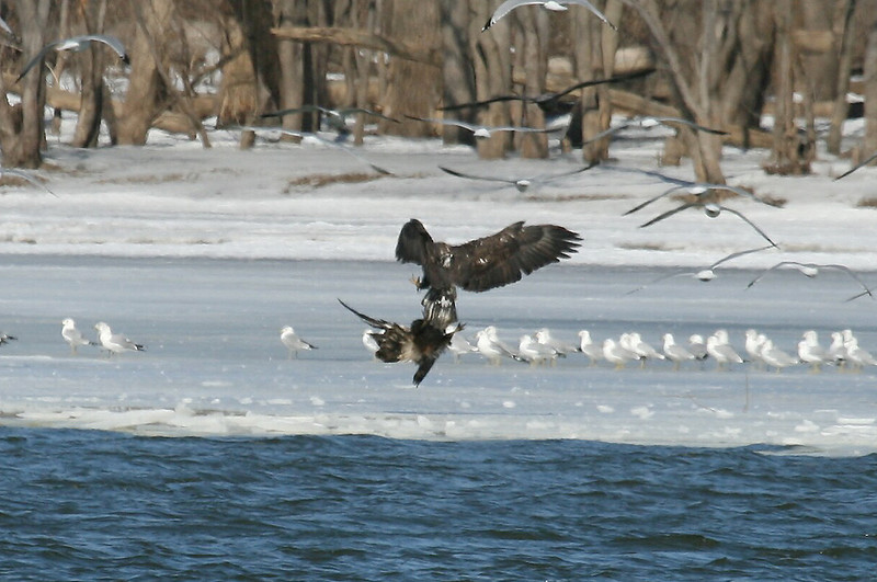 Two bald eagles play along side the Illinois river south of Peoria.