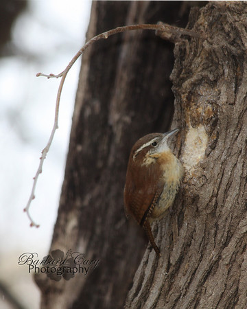 Carolina wren...my favorite backyard bird. I have a pair of them coming to my feeders.
