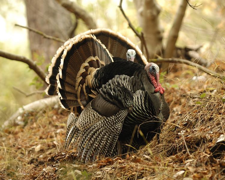 Wild turkeys on the hill above Memorial Stadium.