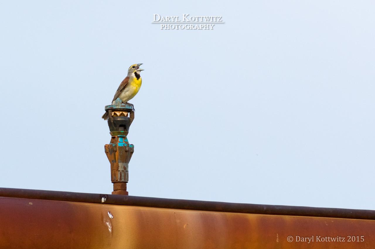 Meadowlark Serenade II