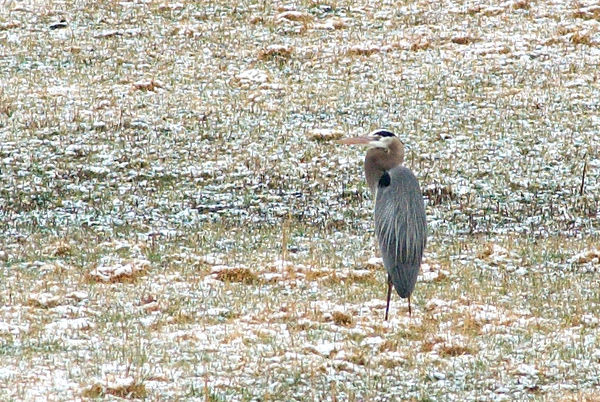 heron observed after a snow fall near Poplar Creek just off of Blair Rd.