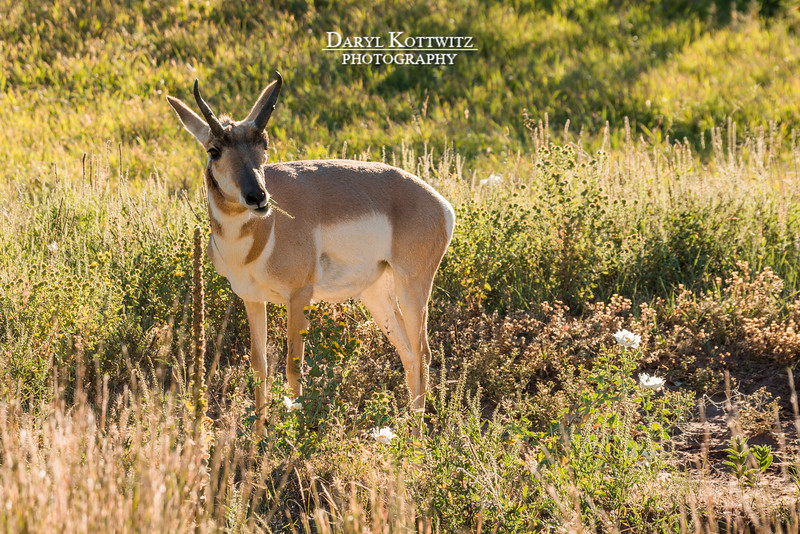 The Grazing Pronghorn