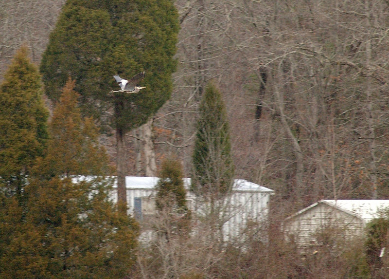 blue heron flying near Poplar Creek off of Blair Rd.