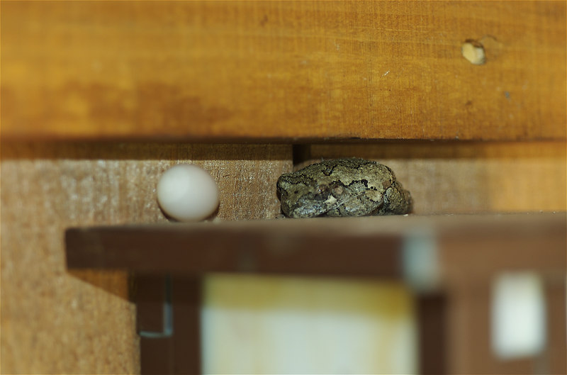 Copse Grey Tree Frog with an egg perched on top of our outdoor lamp.