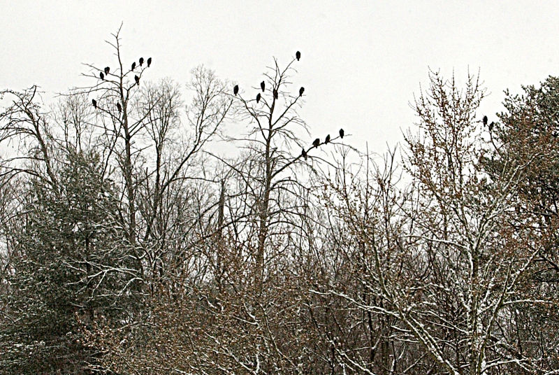 vultures perched in tree tops in Oak Ridge