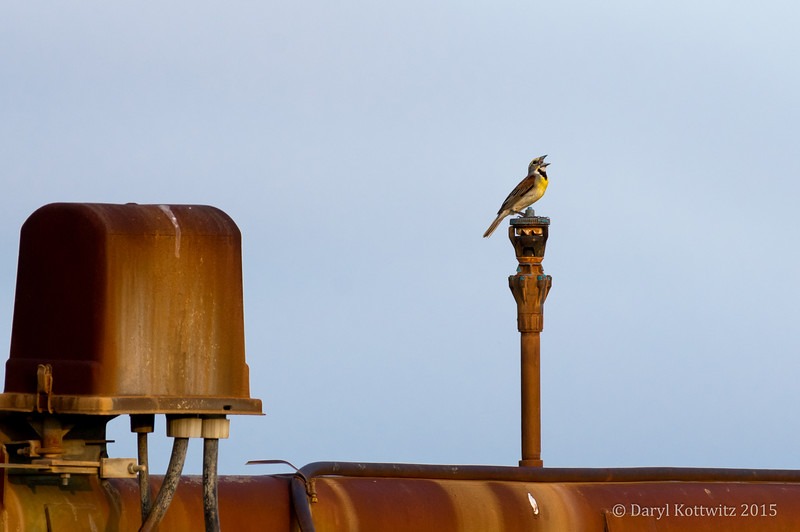 Meadowlark Serenade