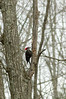 pileated woodpecker working on a tree