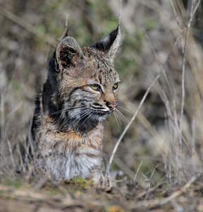 Bobcat ~ Young