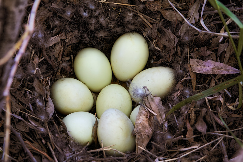 Mallard Eggs