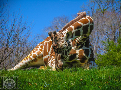 Reticulated Giraffe2