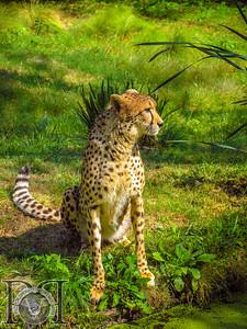 African Cheetah3