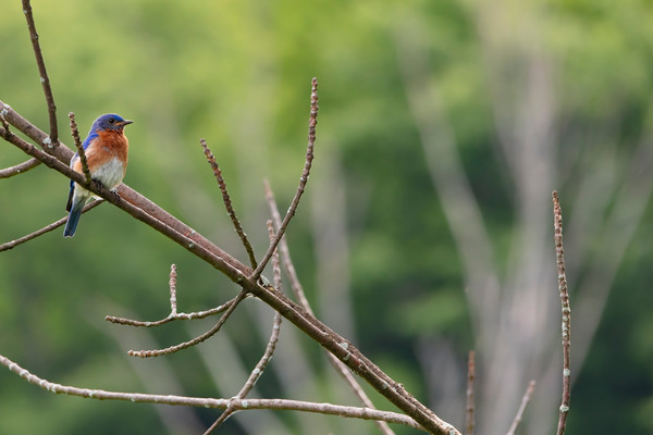 Bluebirds-9697