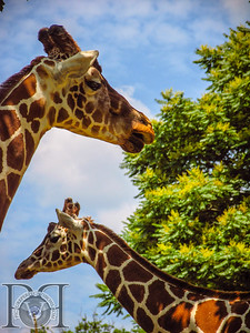 Reticulated Giraffe3