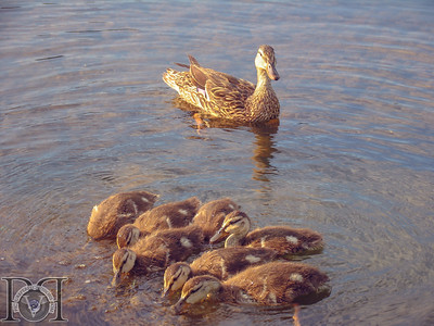 Duck and Chicks