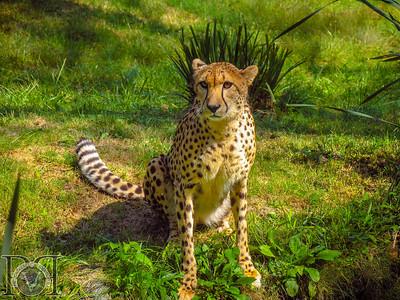African Cheetah2