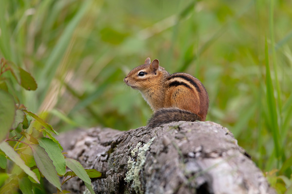 Eastern Chipmunks