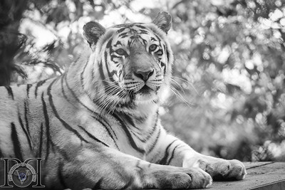 Black and White photo of Bengal Tiger