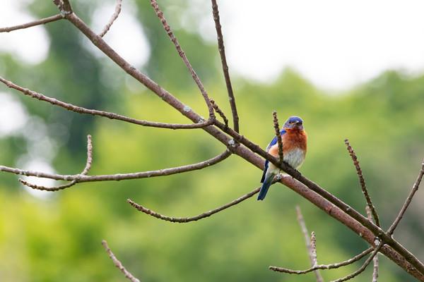 Bluebirds-9706
