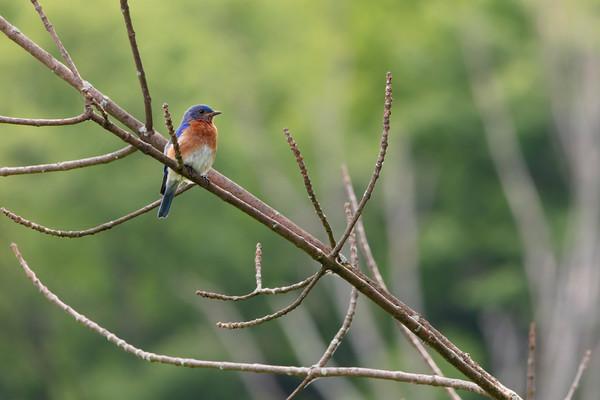 Bluebirds-9699