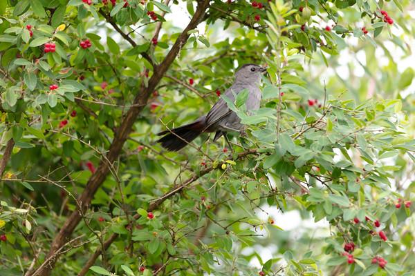 Gray Catbird-9672