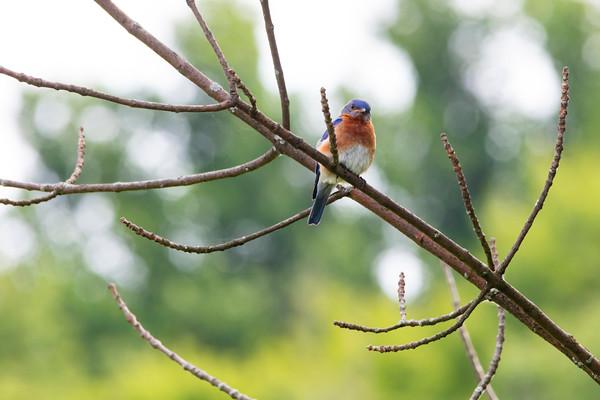 Bluebirds-9714