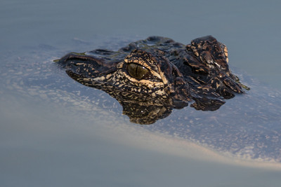 American Alligator, Jefferson Island, Louisiana