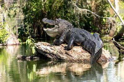 American Alligator, Martin Lake, Louisiana