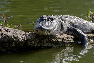 Alligator, Atchafalaya Swamp, Louisiana