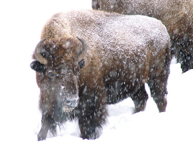 Bison, Yellowstone National Park, Montana