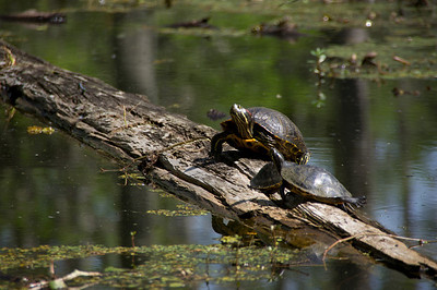 Red Eared Turtle, Atchafalaya Swamp, Louisiana