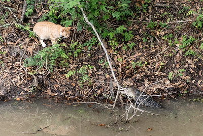 American Alligator and feral cat, Martin Lake, Louisiana