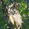 Teton Great Horned Owl