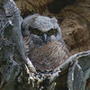 Teton Owlet