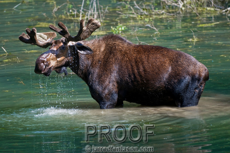 Moose Foraging for Food Beneath the Lake