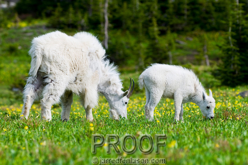 Mountain Goat and Kid Enjoy the Lush Summer Fields