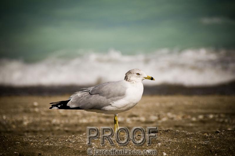 Florida Seagull