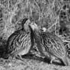 Crested Francolin