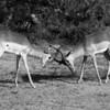 Impala rams in combat