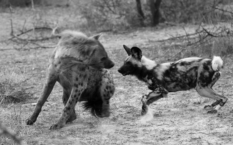Wilddog attacking a spotted hyena