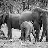 Elephants with calves