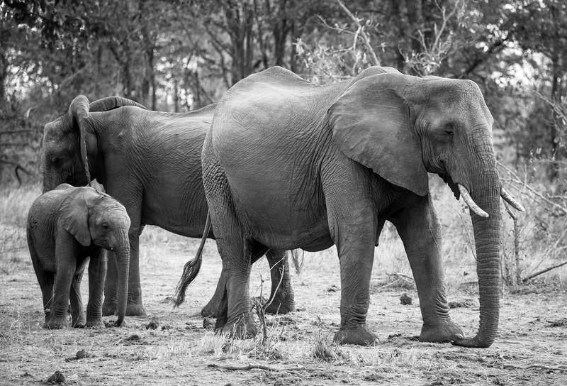 Elephants with calf