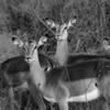Female impalas