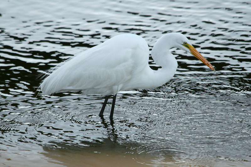 A great egret fishing at Huntington Beach State Park.
