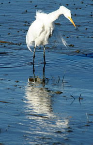 Young Great Egret fishing at Huntington Beach State Park, SC