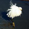 Great egret at Huntington Beach State Park, SC