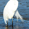 Great egret at Huntington Beach State Park, SC